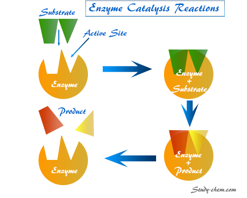Colloidal nature of enzymes, definition, specific examples and characteristics of enzyme catalysis reactions, the kinetics of enzymolysis reaction